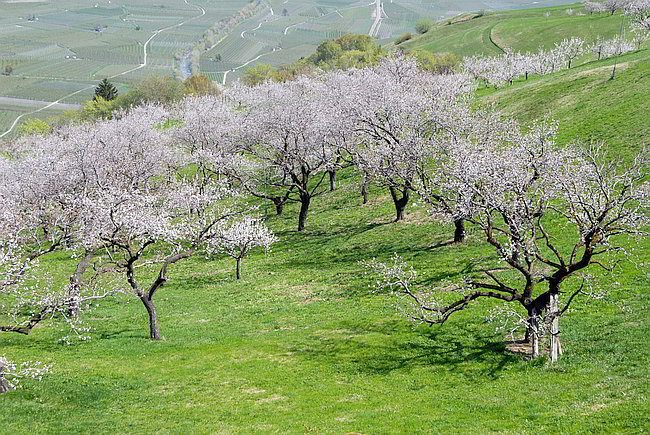 blooming apricot orchards