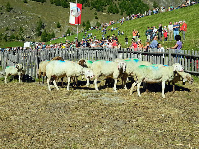 transhumance in the valey Schnalstal